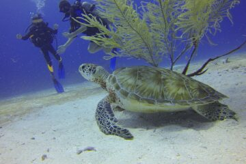 two scuba divers under water with a sea turtle